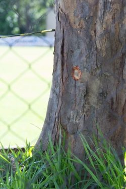 Marca do tiro efetuado pelos guardas ficou aparente em uma árvore do local (Foto: Tatyana Montera Polettini)