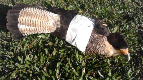 Ave teve a asa cortada por linha com cerol, foi resgatada pelo Corpo de Bombeiros, e segue em recuperação no Zoológico (Foto: Divulgação)