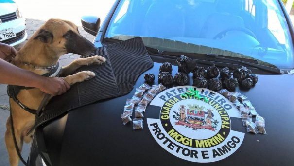 Cão farejador da GCM em ação no combate ao tráfico de drogas