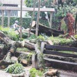 Árvore que caiu no Jardim Velho começa a ser retirada; ninguém se feriu