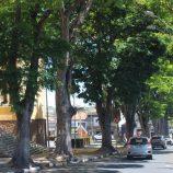 Comerciantes pressionam, Prefeitura recua e corte de árvores começa dia 15