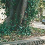 Figueiras das praças – Patrimônio da cidade – n° 606
