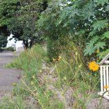 Morador do Nossa Senhora Aparecida reclama de  mato alto em terreno baldio