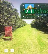 Andrade Sun Farms e seus limões Tahiti: de Mogi Mirim para o mundo